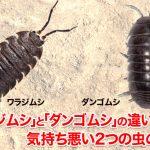 「ワラジムシ」と「ダンゴムシ」の違いとは?気持ち悪い2つの虫の違い