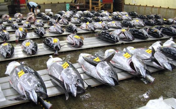 マグロの初競りとご祝儀相場が高い!マグロ漁師の取り分(収入)っていくら?