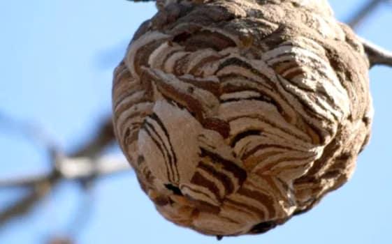 スズメバチの巣ができる季節や場所とは?無料や有料で安全に駆除する方法